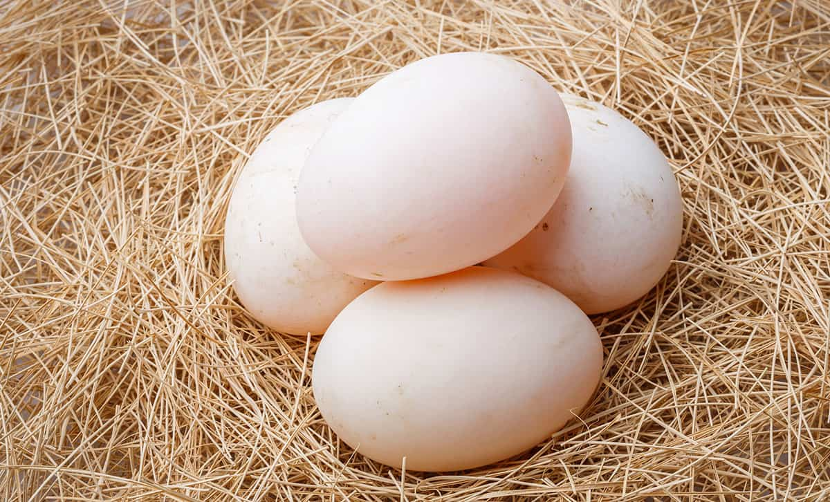 Close up of duck eggs on straw