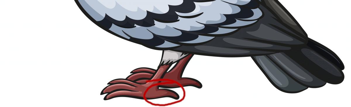 Pigeon hallux (hind toe)