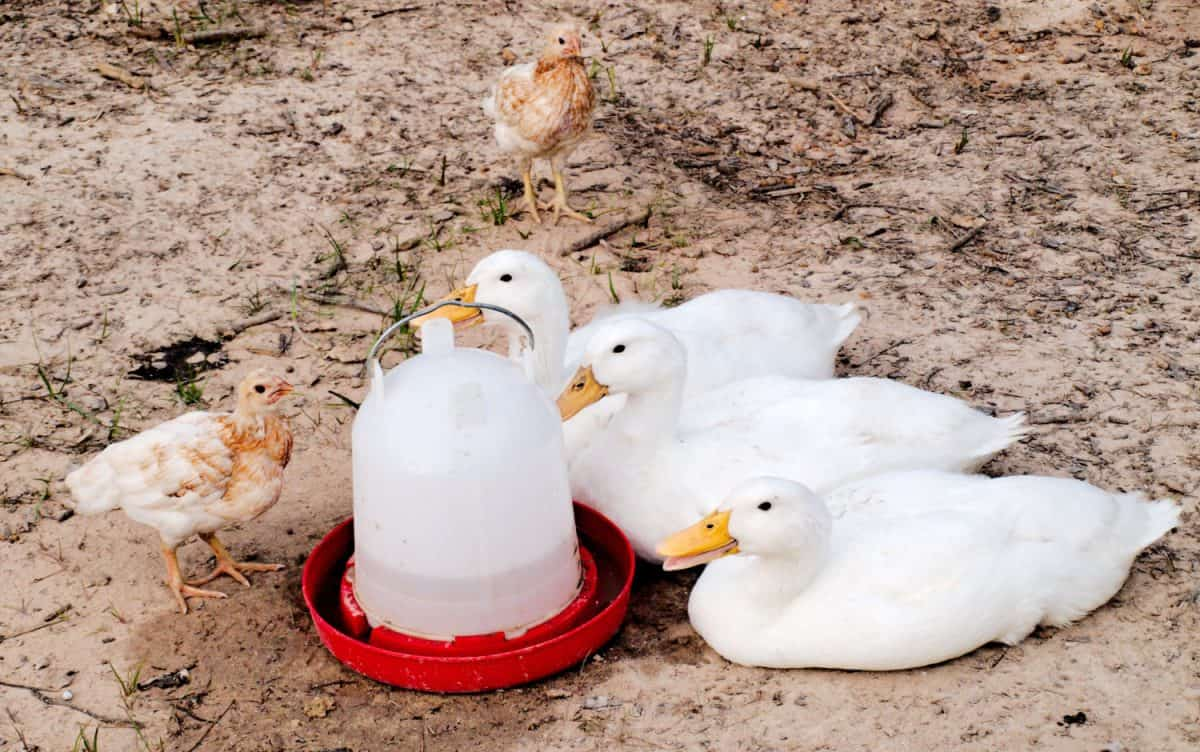 Ducks and Chickens
