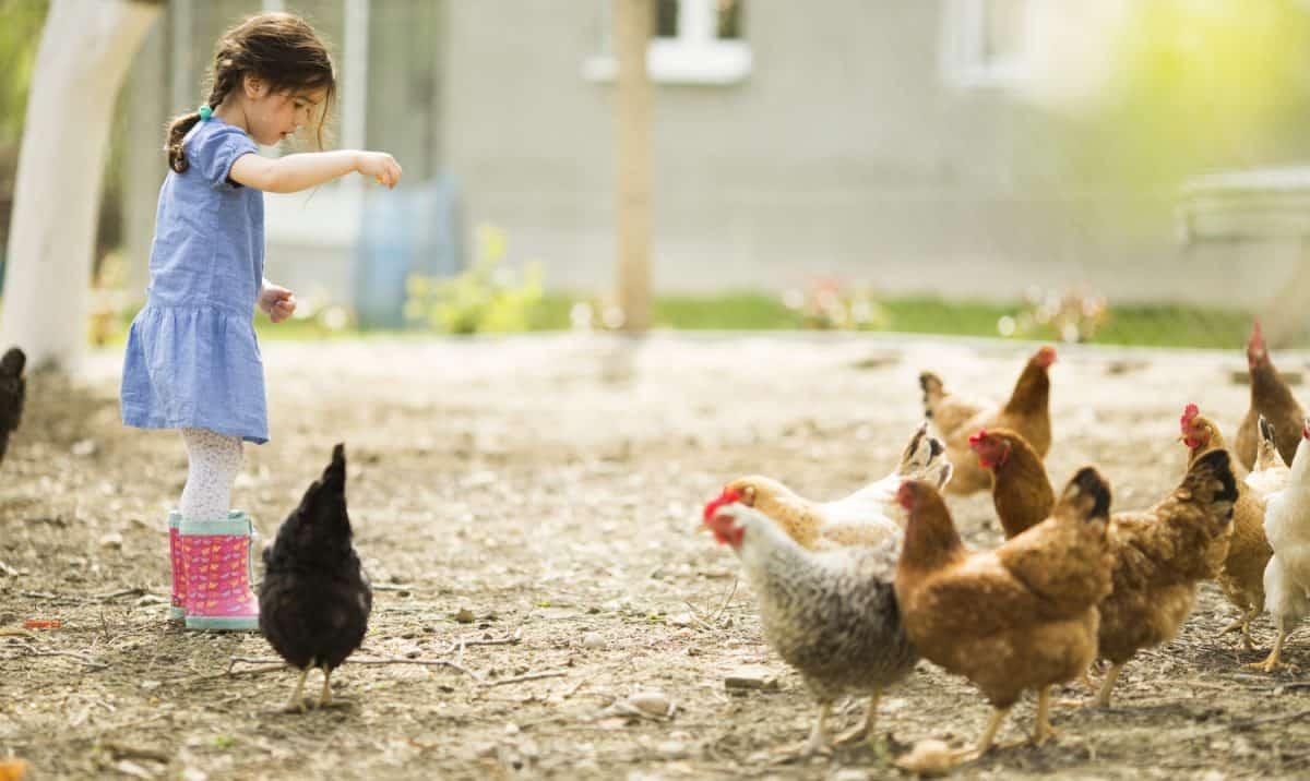 social chickens 2