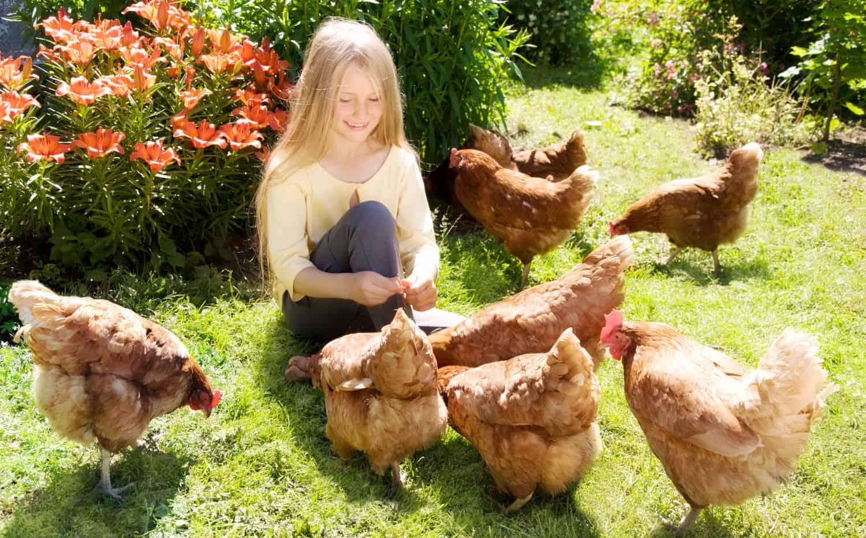 Social Chickens