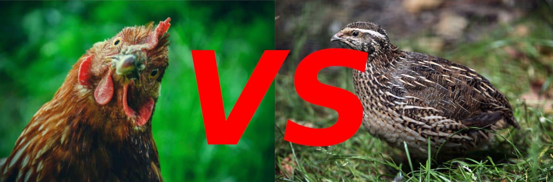 Chickens VS Quail