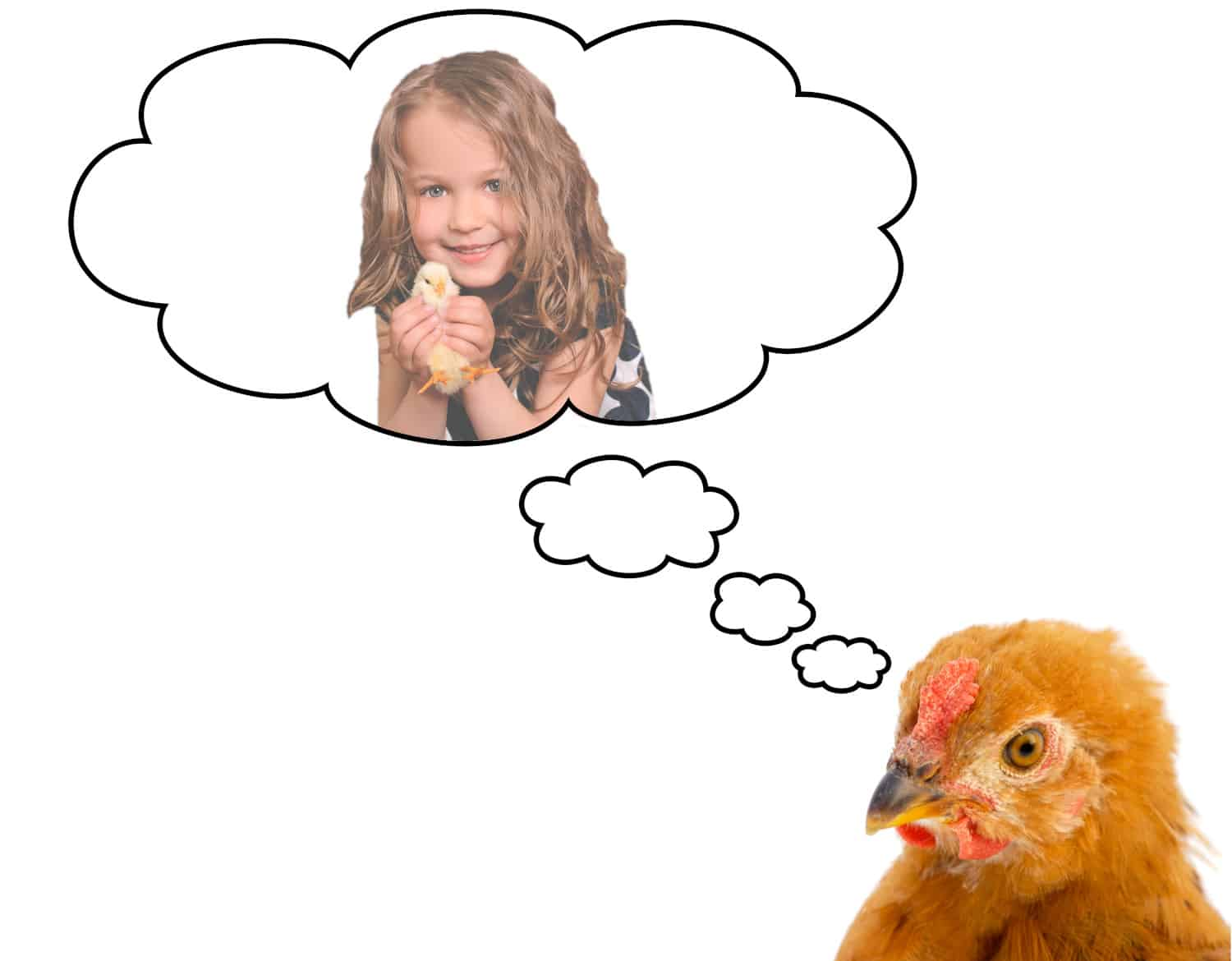 Chicken thinking about owner